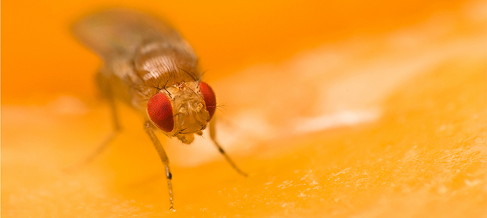 seup of a fruit fly on a slice of orange